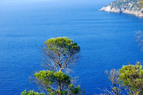 greek-pine-tree